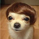 Image of Tan Chihuahua wearing funny wig